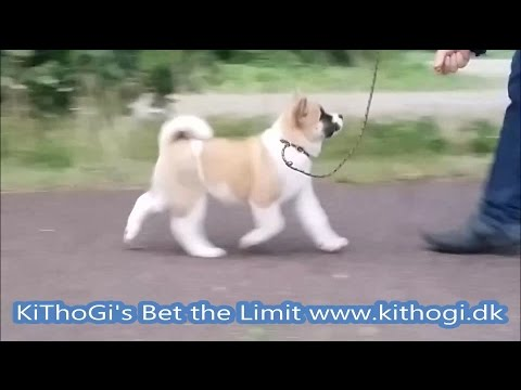 Am. Akita KiThoGi's Bet the Limit 8½ weeks