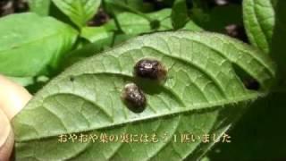 2匹のヒメカメノコハムシ
