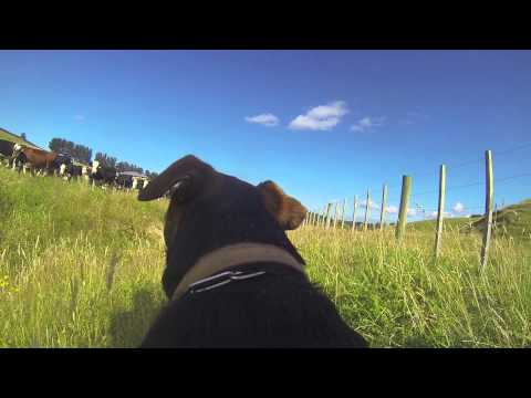 Happiest Dog in the World. GoPro Farm Dog
