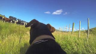 GoPro Farm Dog