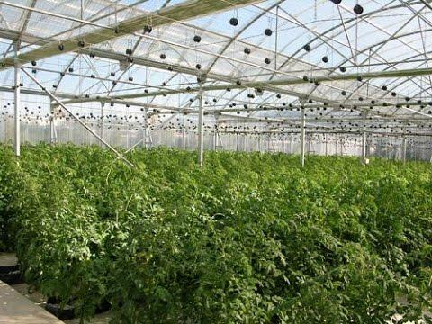 Image result for tomate  invernadero