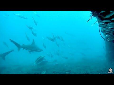 Sandbar sharks and other predators, filmed at 1:2 speed, March 20, 2018