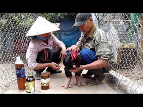 cách chăn nuôi gà Đông Tảo thả vườn
