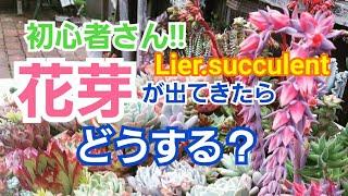 【多肉植物】花芽が出てきたらどうする?