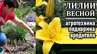 Что делать с лилиями весной после всходов  Агротехника подкормки вредители