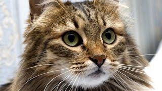 Сибирская кошка - русская красавица