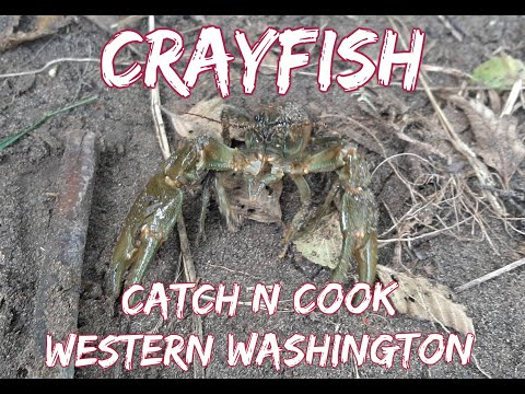 Crayfish Catch N' Cook Western Washington