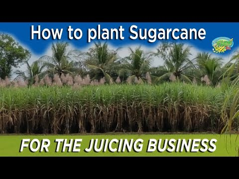 Vietnam's secret to planting sugarcane for juicing - A must see