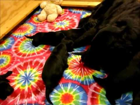 Cahaba Flat Coated Retrievers Lizzi and Two Week Old Puppies