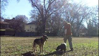 Archie Lab Puppy Dog Training Memphis | Obedience College