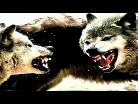 """""""Я одинокий волк."""" Поёт Василий Шульженко."""