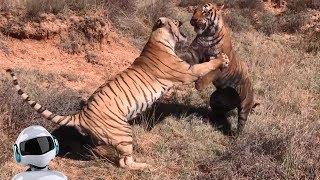 видео 10 Шокирующих Битв Животных Снятых На Камеру