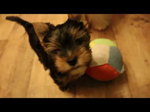 Ascot - black and tan colorful yorkshire terrier