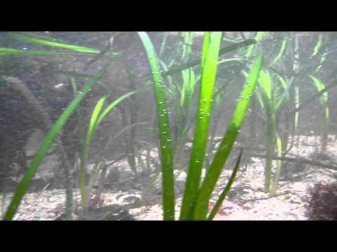 Eelgrass (Zostera marina) underwater in Ireland