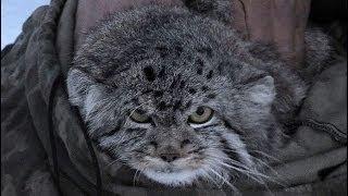 Учет манула в Даурском заповеднике Pallas's Cat