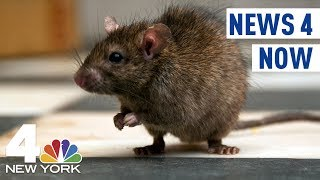 News 4 Now: Rats Take Over NYC Apartment Building; Uber Driver Charged