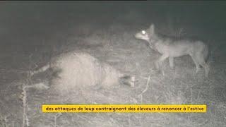 Vu des régions : Les éleveurs chassés par le loup