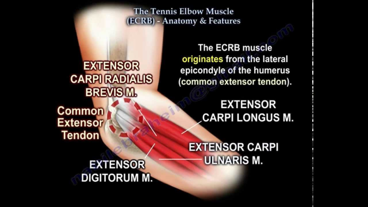 Tennis Elbow Muscle Ecrb Everything You Need To Know Dr Nabil