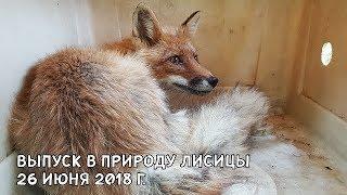 ВЫПУСК В ПРИРОДУ ЛИСИЦЫ 26 ИЮНЯ 2018 Г.