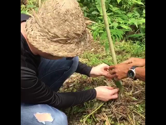 First Vine growth January through October 2018 in East Bali