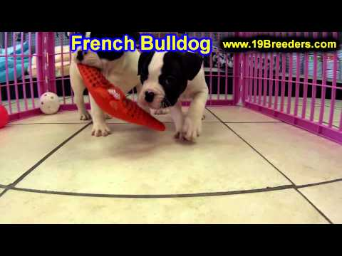 French Bulldog, Puppies, For, Sale, In, East Honolulu, Hawaii, HI, Makaha, Pukalani, Haiku Pauwela,