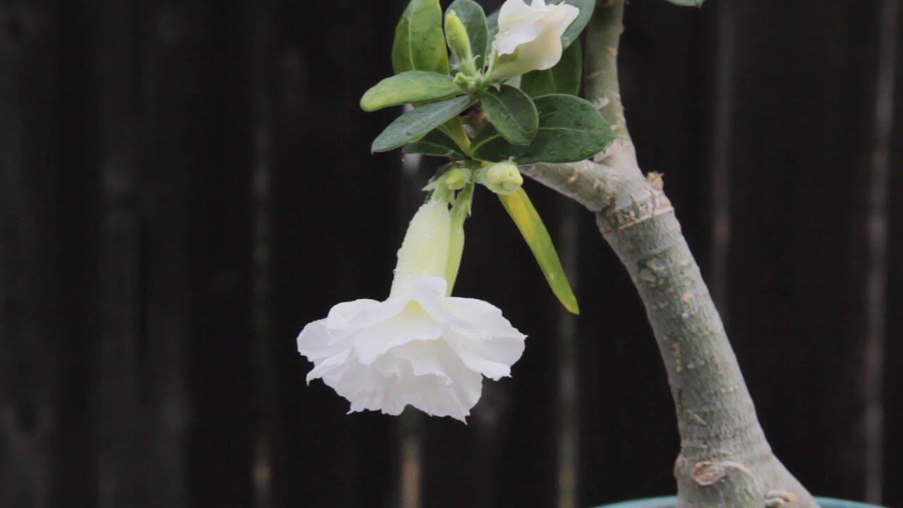 Adenium Obesum Desert Rose White