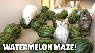 Watermelon Maze Challenge! Can My Cats Escape? | Kittisaurus