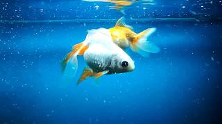 Золотые рыбки в аквариуме 2