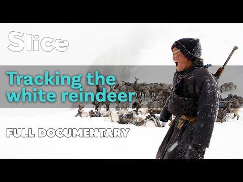 Tracking the white reindeer | SLICE | Full documentary