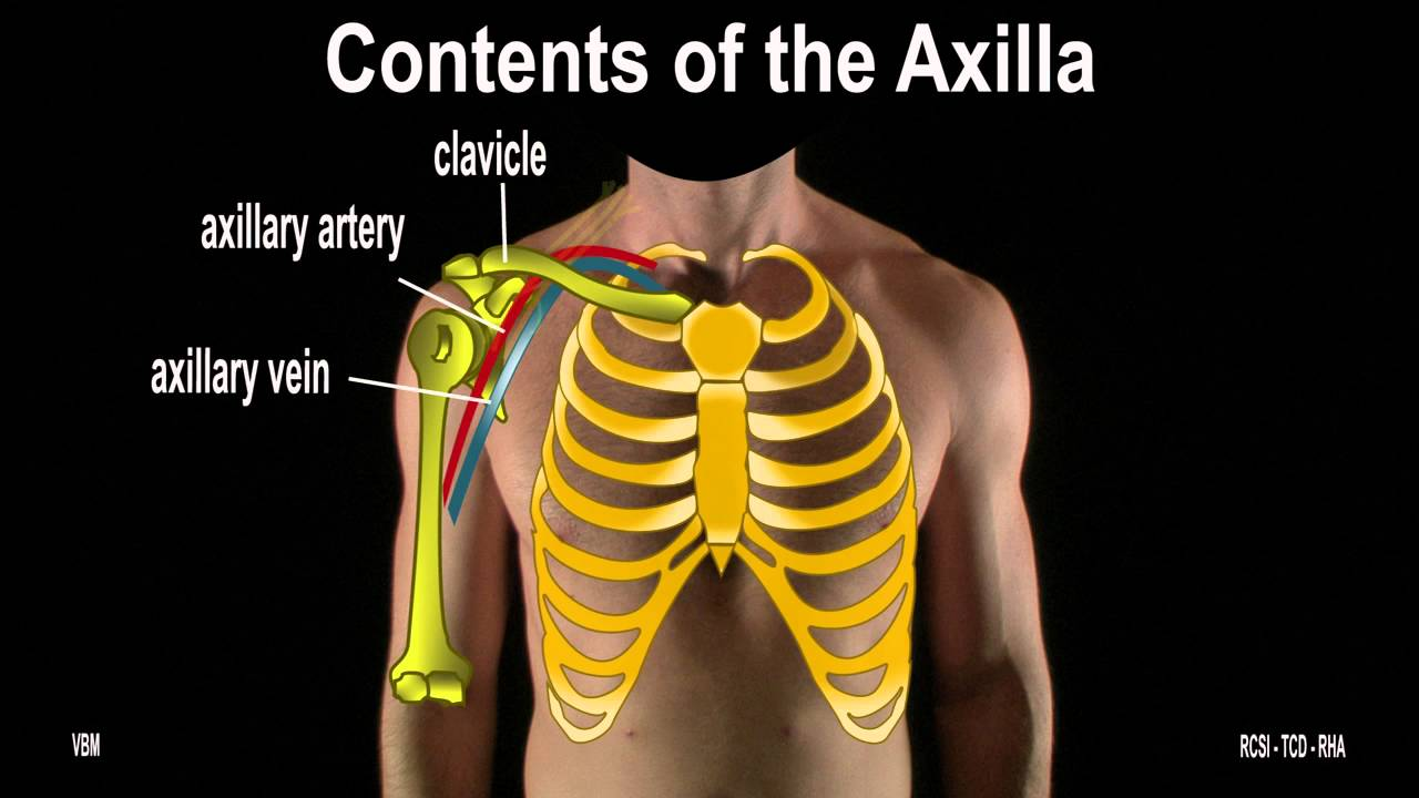 surface marking of axillary artery