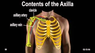 Surface Anatomy - Axilla The Breast (2D)