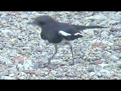 Oriental magpie-robin (Copsychus saularis) catch prey Other Birds try to looting 2