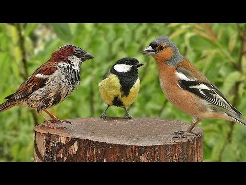 Garden Birds in The Gentle Rain - One Hour of Relaxing Rain and Bird Sounds
