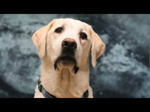 Golden Labrador Retriever Shines in the Spotlight with Talent Hounds