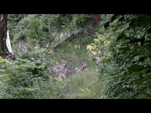 Video Čergov - vlčata
