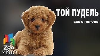 Той пудель - Все о породе собаки | Собака породы той пудель