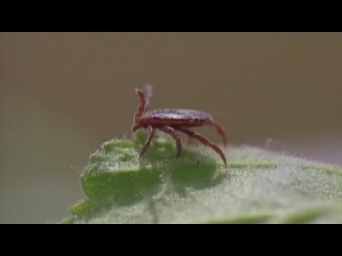 Tick Found In Minnesota Brings Rare Meat Allergy