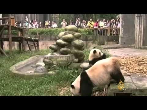 أول إطلالة لتسعة جراء باندا في محمية صينية