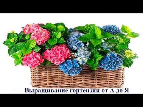 Выращивание гортензии от А до Я. Садовые растения