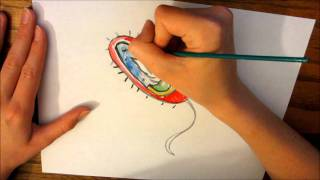 a bacteria cell drawing