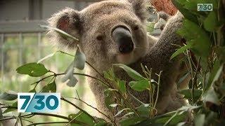 The impact of bushfires on koalas | 7.30