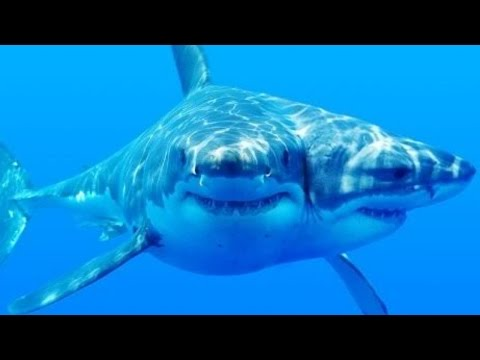 Two Headed Sharks Becoming Extremely Common