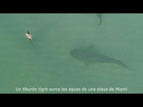 Tiburón Tigre Nada Junto A Unos Bañistas En Miami