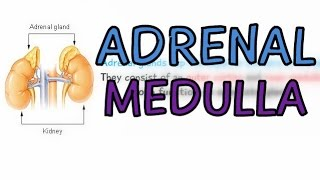 The Endocrine System: Adrenal Glands - Adrenal Medulla - Explained in 1 Minute