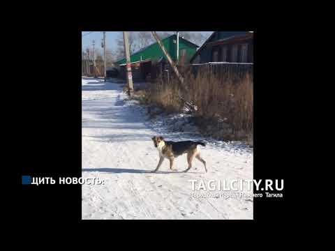 Свора собак держит в страхе жителей Новой Кушвы в Нижнем Тагиле: дети боятся ходить в школу
