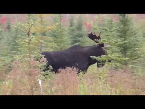 New brunswick moose calling 2016