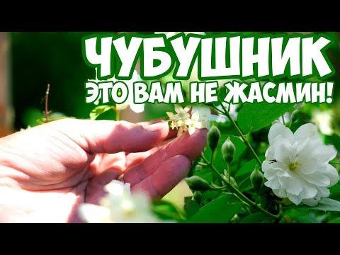 Чубушник 🌳 Сад огород 🌳 Полезные советы