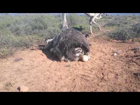 Safari Ostrich Show Farm ostrich laying egg