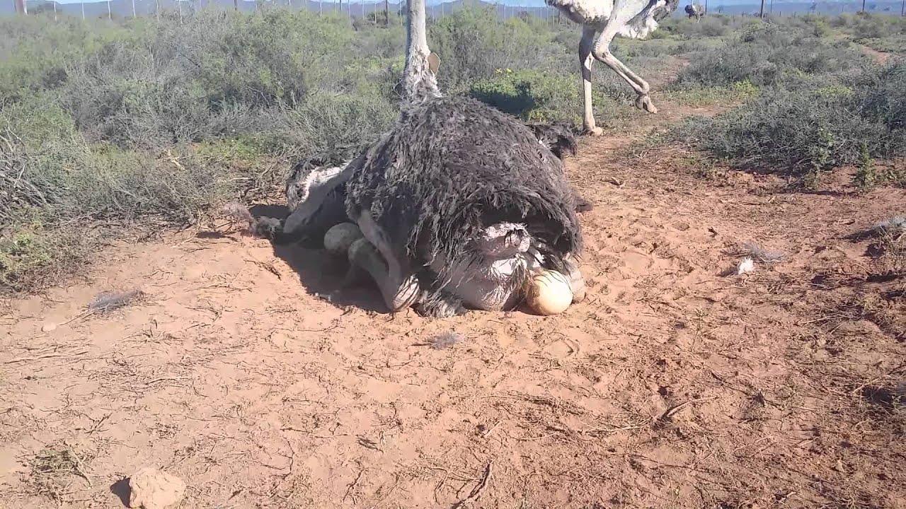Kiwi egg vs ostrich egg - photo#43