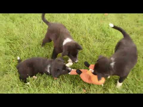 Border Collie Puppies For Sale David King